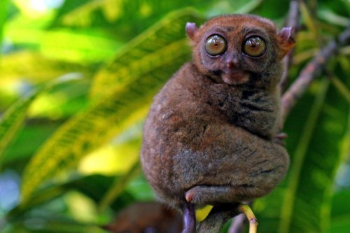 A tarsier on Cebu in the Philippines