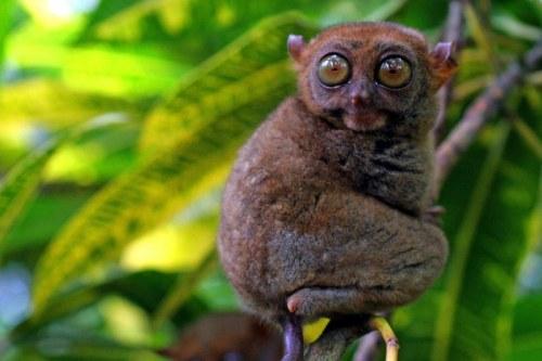 A tarsier in Bohol, Philippines